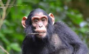 黑猩猩,隐匿在乌干达丛林中的精灵