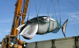 """国际捕鲸委员会通过保护鲸类宣言,""""日本提案""""大概率将被否"""
