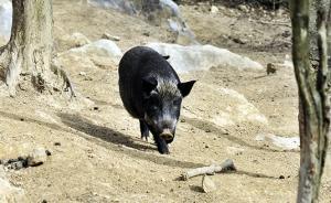 安徽:野豬數量過多時或將組織專業人員進行獵捕