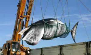 日媒:日本政府26日将宣布退出国际捕鲸委员会