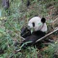 五千年前还是两百万年前?科学界争论大熊猫吃竹子的演化时间