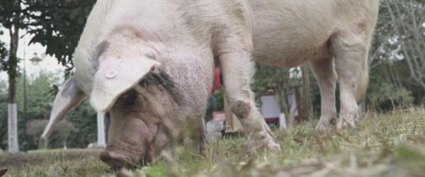 """汶川地震""""猪坚强""""今年12岁了,相当于人类90多岁"""