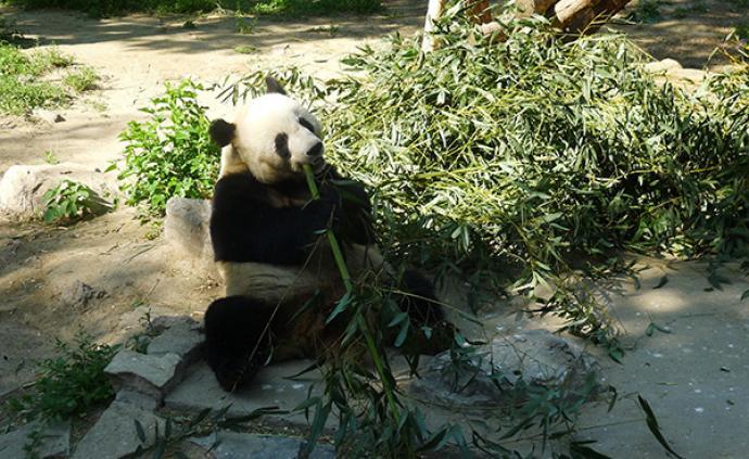 """研究显示:以竹子为主要食物的大熊猫更接近""""超级食肉动物"""""""