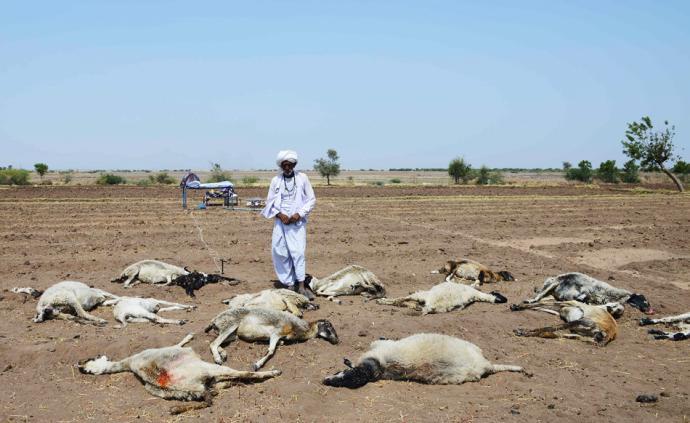 早安·世界|印度遭遇极端高温天,约60只羊死于高温和缺水