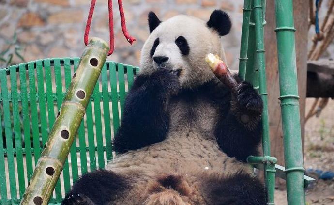 """百万""""猫粉"""":大熊猫也有""""饭圈""""吗?"""