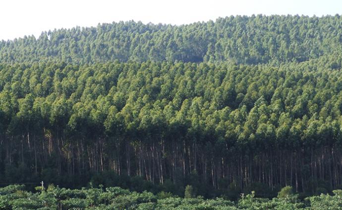 广东自然资源厅:将引导和规范桉树人工林适地种植、适度发展