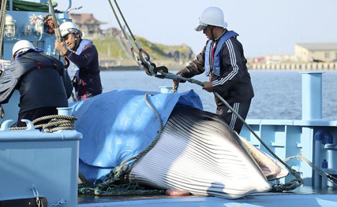 日本下月重启商业捕鲸,从业者认为前景叵测
