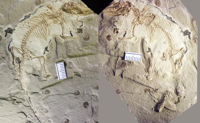 中国发现迄今最早具有完整舌骨的原始哺乳动物化石