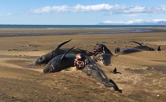 早安·世界|冰岛海滩现50余头领航鲸尸体,半掩沙土之中