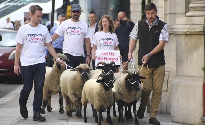 """反对脱欧,英国一民间组织""""赶羊上街""""以示抗议"""