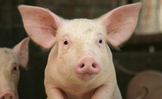 猪心移植到人体?英国学者称3年内实现