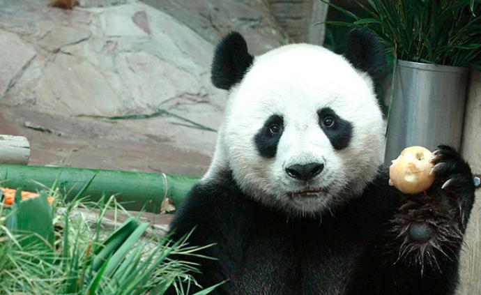 """旅泰大熊猫""""创创""""死亡,保险公司将赔付1500万泰铢"""