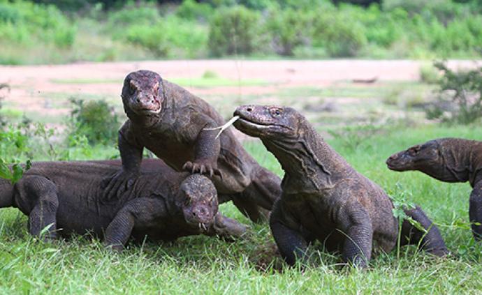 印尼科莫多岛国家公园继续对游客开放
