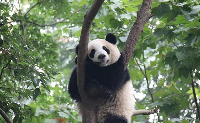 """科技日报谈江西计划""""野放""""大熊猫:不是打开笼子那么简单"""
