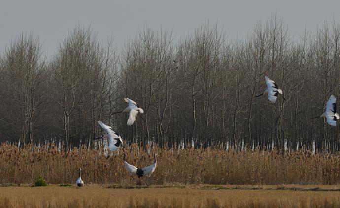 """丹頂鶴""""先期部隊""""飛抵鹽城濕地:保護區做好準備迎候鳥越冬"""
