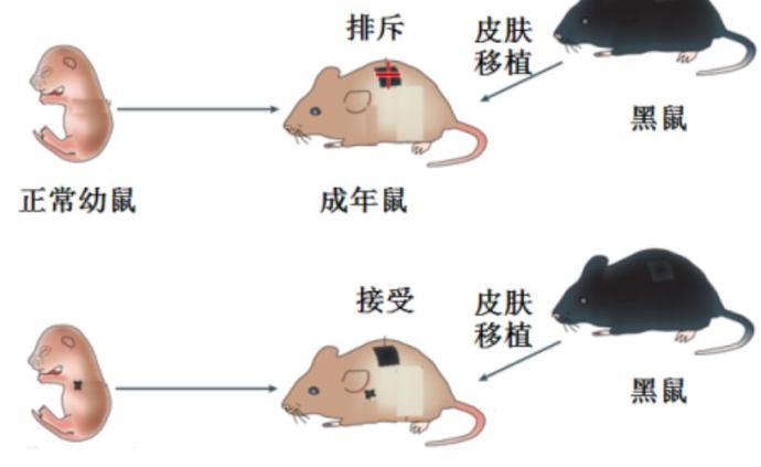 四个诺奖站在他们肩上:米勒和库珀的B、T细胞发现之旅