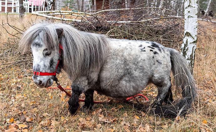 早安·世界|世界最矮雄馬!快來圍觀波蘭這匹馬的小短腿
