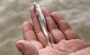 长江刀鱼有望告别天价:人工养殖技术成熟,已放流10万尾