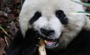 陕西首次观察到野生大熊猫啃羚牛腿骨,专家分析或为补钙