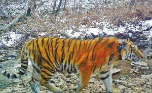 中国公布普京所放生老虎入境照,近日常沿黑龙江行走或想回家