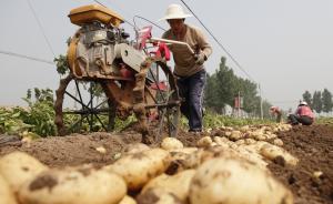 """土豆将成中国第四主粮:""""三百年前土豆曾保障中国人口增长"""""""
