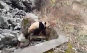 大熊猫被围堵受惊吓咬伤村民,家属欲起诉保护站讨要医药费