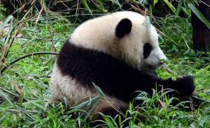 """大熊猫""""家底""""普查细节揭秘:千里找粪便,检测DNA"""