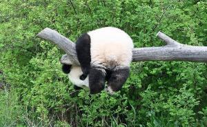 中国将为大熊猫制定专门保护条例,江豚、中华鲟怎么办?
