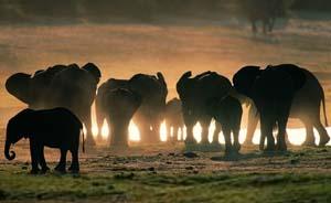 """无牙大象比例上升:""""适者生存""""的悲剧性印证"""