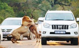 """当地时间2015年7月10日,南非克鲁格国家公园,在惊呆的驾驶员面前,雄狮上演了一出捕食大战。饥饿的雄狮在马路上踱步,倒霉的条纹羚现身路旁的灌木丛中。道路上的司机都停下车来,观看这一凶残的""""杀戮""""景象。就在条纹羚还在马路上打滑的时候,一头雄狮已经开始攻击其背部,而另外一头雄狮死死的咬住羚羊的喉咙,导致羚羊快速死亡。正在南非做野生动物研究员的来自英国的23岁的Carolyn Dunford拍摄下这些令人震撼的图片。  CFP 图"""
