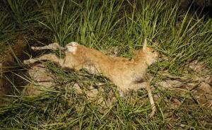青海湖普氏原羚17只幼羚集体死亡,系国家一级保护动物