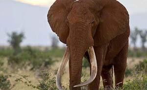 """巨型象牙遭觊觎,""""非洲象王""""两次中毒箭终遭盗猎者杀害"""