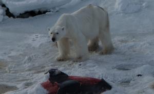 """北极日子不好过,北极熊学会了用""""冰箱"""",还能夏天""""冬眠"""""""