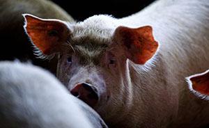 美国智库:中国人越喜欢吃猪,环境就会越差