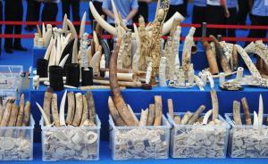 """中国宣布将禁止国内象牙贸易,国际环保组织称""""创造了历史"""""""
