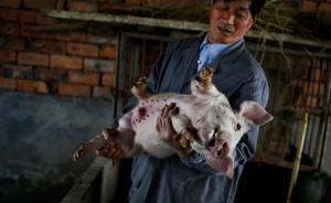 绿色曙光|上海拆除黄浦江水源地养猪场,曾为楷模工程