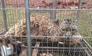年迈雪豹偷袭牛圈,食物短缺折射生存危机