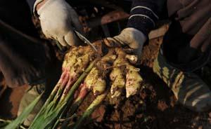 黄山一生姜种植地释放大量二氧化碳,5村民中毒身亡