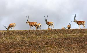 新疆查获特大羚羊角等走私案,涉案金额约合1.6亿元