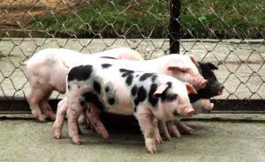 """杭州一小学引进五只小猪:全校孩子轮流喂养,或""""成为猪肉"""""""