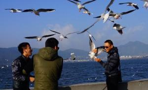 网曝昆明海埂大坝现虐鸥行为,游客不顾海鸥挣扎抓来自拍