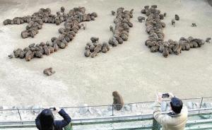 """日本一动物园200只猴子拼出""""猴""""字迎猴年"""