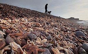北美海岸海星大量死亡,海水温度上升或是罪魁祸首
