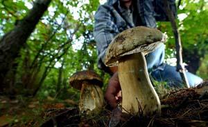 毒蘑菇验毒诀窍多不靠谱,曾毒翻食品监督人员
