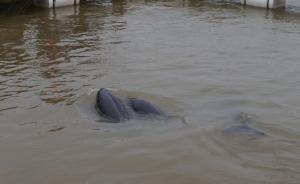 长江流域江豚已降至千余头,专家建议提升为国家一级保护动物