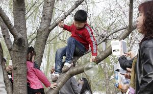 上海顾村公园樱花节一天迎客16万,爬树折花等不文明屡现