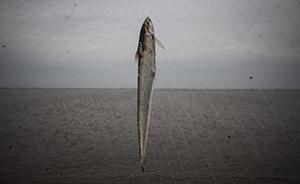 长江刀鱼涨至1.5万元一公斤:五年来最高,明年起或禁捕