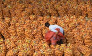 东北临储库存玉米达2.5亿吨陈化风险大,农业部宣布将改革