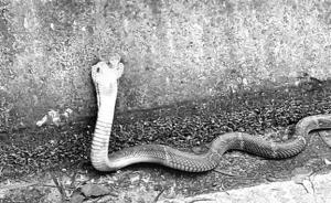 福州一县道现5条被放生毒蛇,距小学居民小区等仅500米