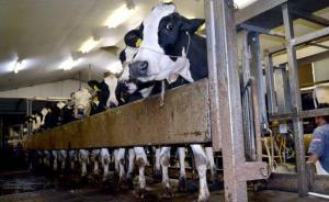 日本熊本地震影响多个行业,奶农挤完奶后含泪倒掉